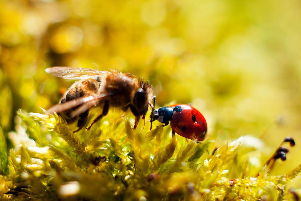Amitié entre une abeille et une coccinelle